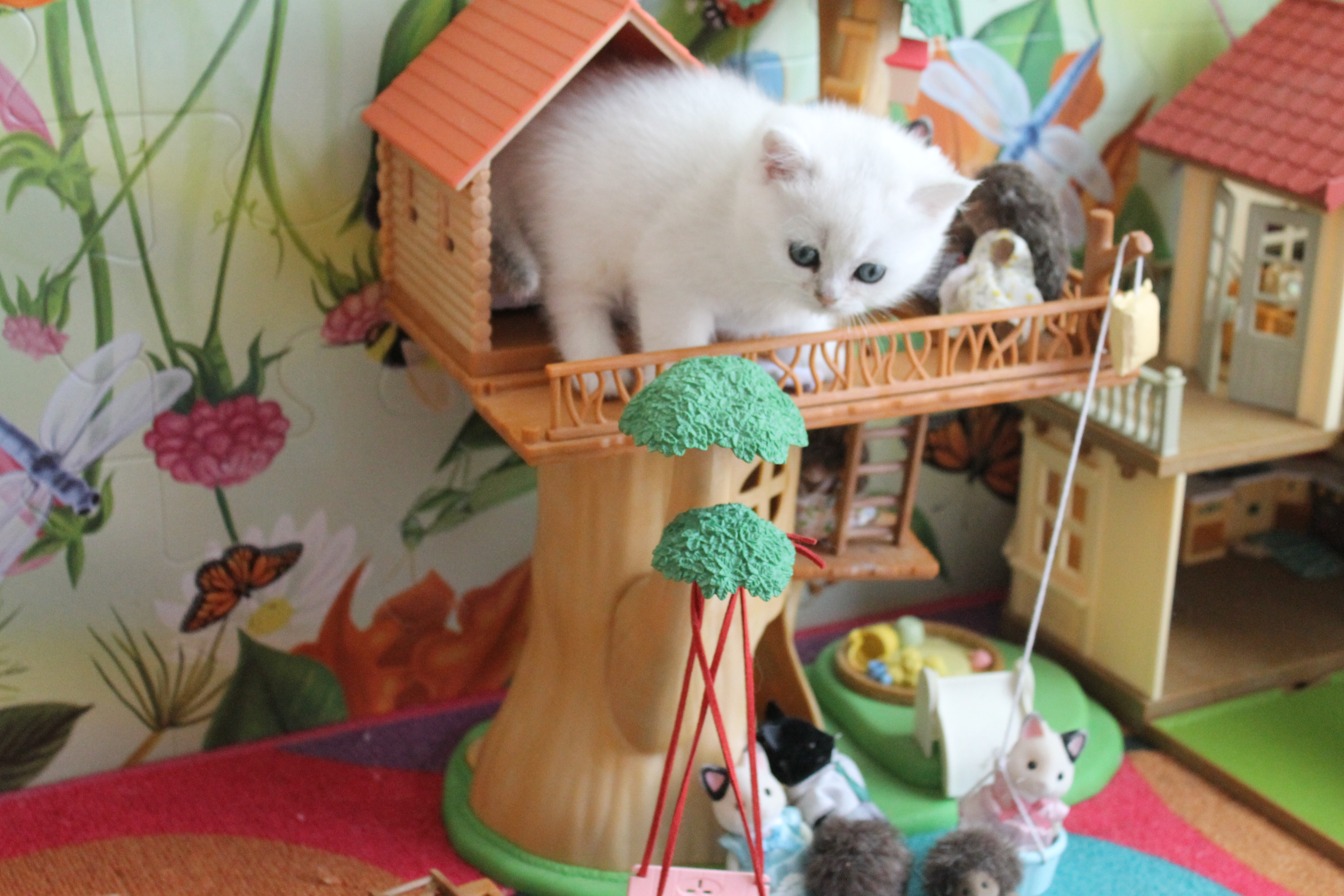 British Shorthair Feliland Cattery