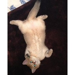 Hello_) #britishshorthair #felilandcats #felilandcattery #instagram #instacats #instacute #photograp