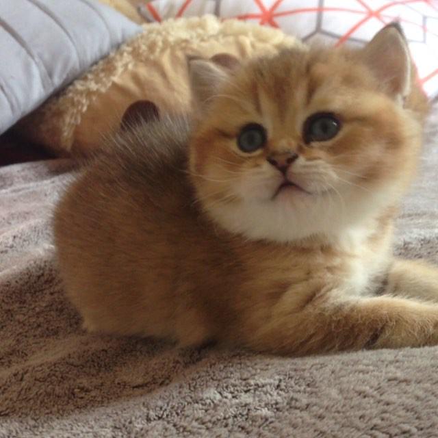 Fokus Pokus Feliland #britishshorthair #felilandcats #felilandcattery #catsoftheworld #catstagram #c