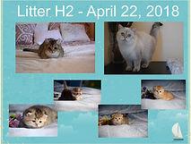 British Shorthair kittens Feliland Cattery