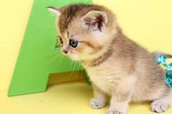 British Shorthair kittens Feliland