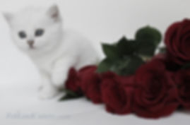 Feliland Cattery British Shorthair Cats