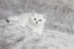 British Shorthair Feliland Cattery