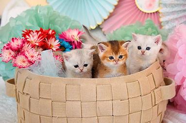 Kittens-felilandcattery.jpg