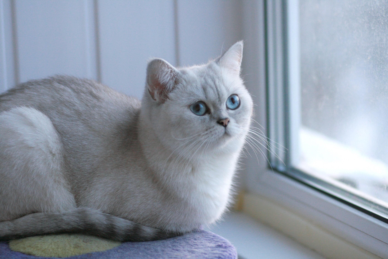 Bella SnowCat of SnowQueen