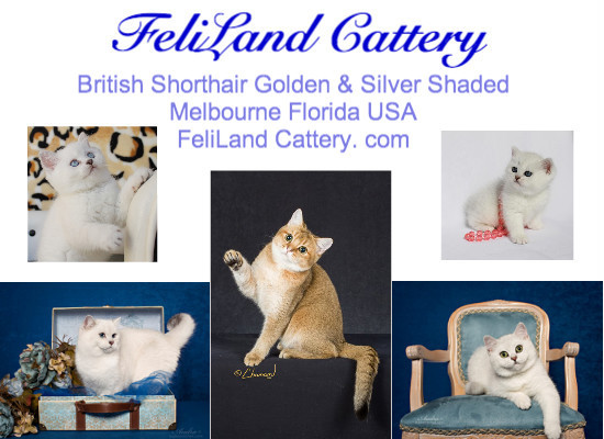 Feliland Cattery - Home of British Shorthair Cats and