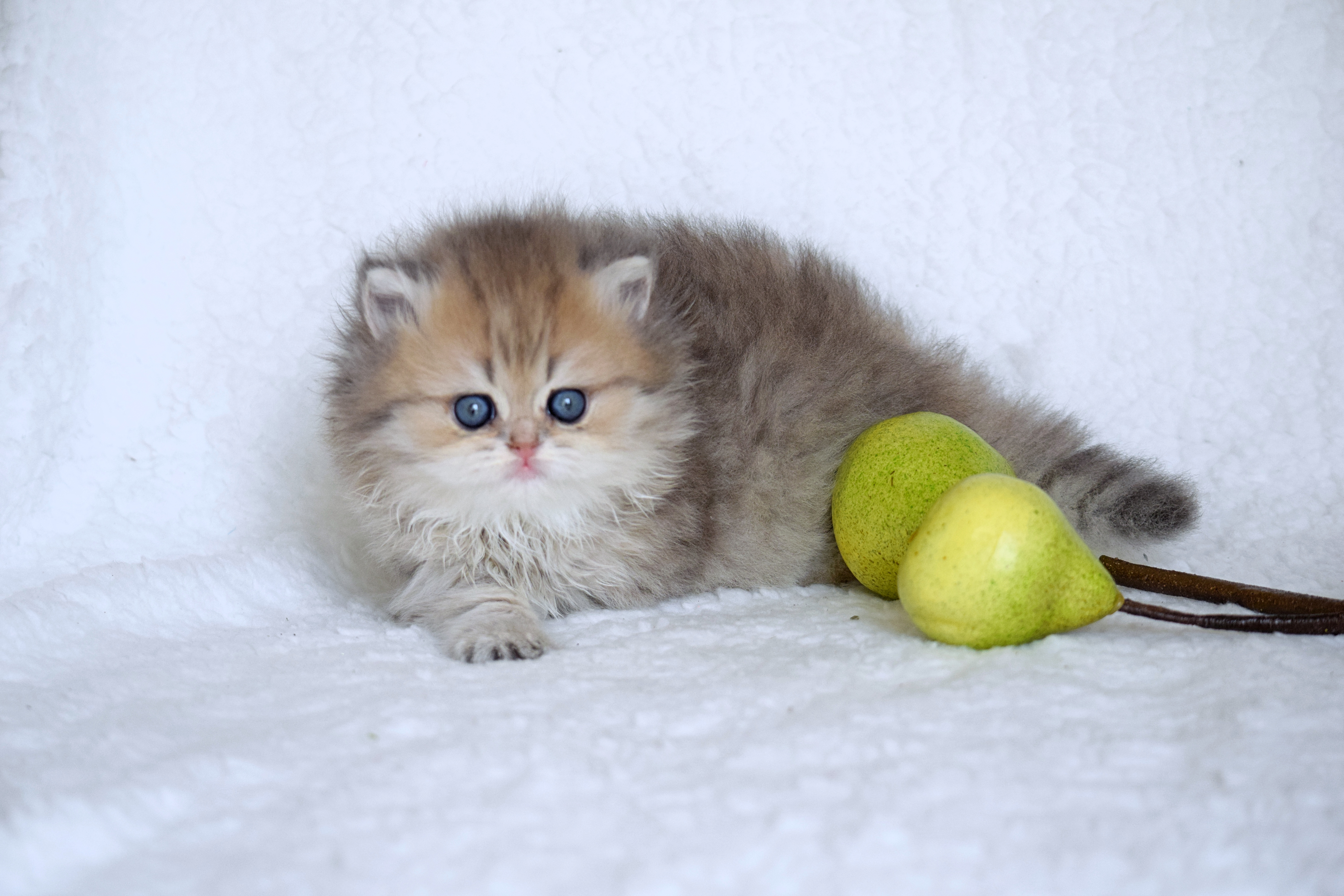 British Shorthair, Melbourne FL and Chicago IL, Feliland Cattery