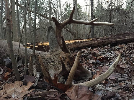 Whitetail Deer KY in timber