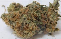 Alaska cured cannabis
