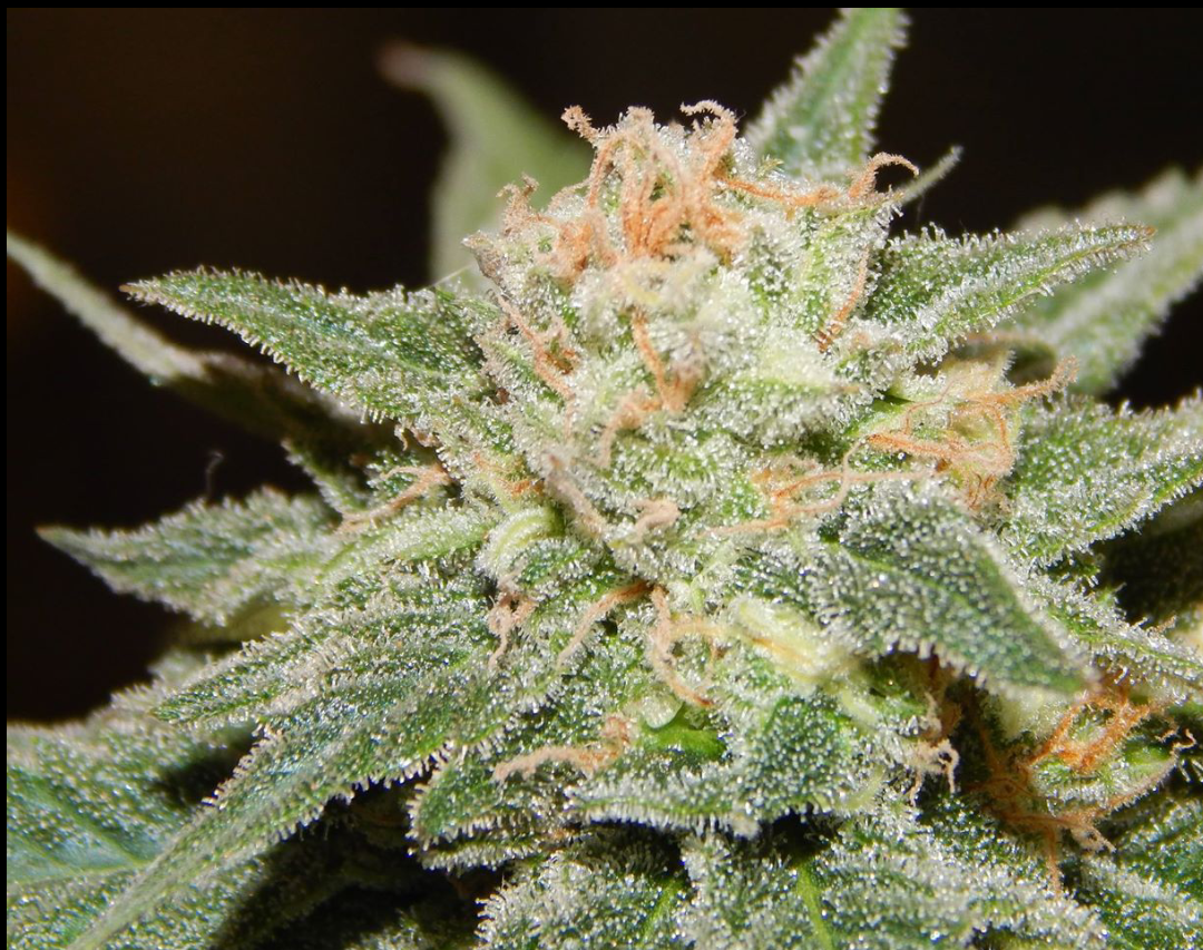 Grizzweed Alaska marijuana flower