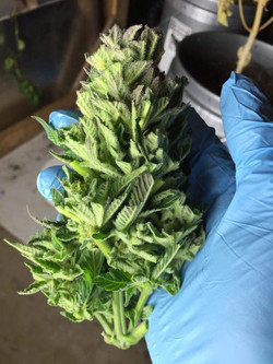 Alaska cannabis Ace of Spades