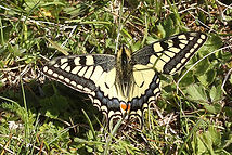 Machaon, romain riols.jpg
