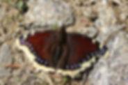 Morio, P.Peyrache, Atlas de la biodiversité Est Cantal