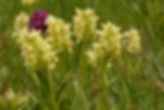 Dactylorhiza sambucina_CHARLAT_M_8011d.J