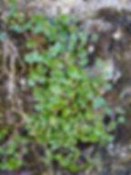 Cymbalaire des murs - Sylvain POUVARET - Atlas de la Biodiversité de l'Est Cantal