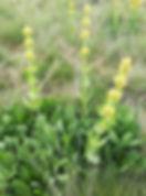 Gentiane jaune, Atlas de la biodiversité Est Cantal