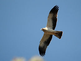 Aigle botté, Atlas de la biodiversité Est Cantal