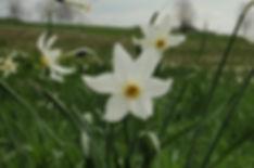 Atlas de la biodiversité | Fiers de nos prairies | Narcisses