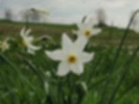 Narcisse (2).JPG