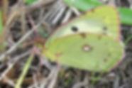 Soufrés, Fluorés, A.Faurie, Atlas de la biodiversité Est Cantal
