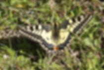 Atlas de la biodiversité Est Cantal | Rencontrons nos papillons | Machaon