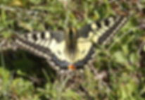 Papillon Machaon, Atlas de la biodiversité Est Cantal