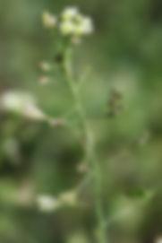 Capselle bourse à Pasteur - Arnaud DESCHEEMACKER - Atlas de la Biodiversité de l'Est Cantal