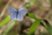 Lycènes bleus, P.Peyrache, Atlas de la biodiversité Est Cantal