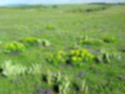 Atlas de la biodiversité Est Cantal | Fiers de nos prairies |Prairies fleuries, Gentianes