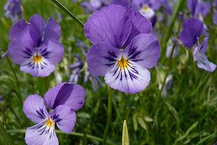 Viola lutea_CHARLAT_M_7013ad.JPG