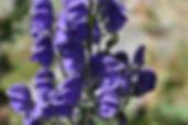 Aconit napel, Atlas de la biodiversité Est Cantal