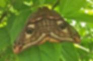 Petit Paon de nuit, P.Rousteau, Atlas de la biodiversité Est Cantal