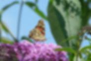 Belle-dame, Atlas de la biodiversité Est Cantal