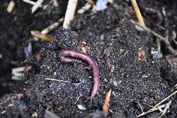Ver de compost - A.SB/SYTEC - Atlas de la Biodiversité de l'Est Cantal