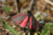 Goutte de sang, P.Peyrache, Atlas de la biodiversité Est Cantal