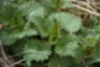 Grande ortie - A. SB/SYTEC - Atlas de la Biodiversité de l'Est Cantal