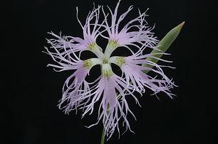 Dianthus superbus_DESCHEEMACKER_A_CBNMC_
