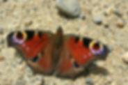 Paon de jour, Atlas de la biodiversité Est Cantal