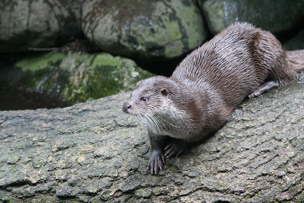Photo : Loutre d'Europe : Pierre Mossant - CEN Auvergne