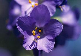 Polémoine bleue, Atlas de la biodiversité Est Cantal