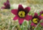 Anémone pulsatile, Atlas de la biodiversité Est Cantal