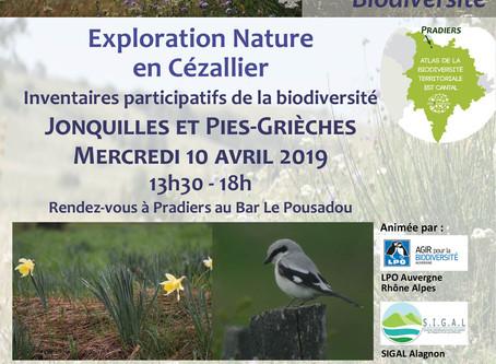 Exploration Nature en Cézallier : Jonquilles et Pies-grièches grises - Mercredi 10 avril 2019