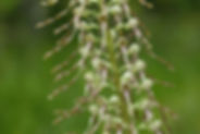 Himantoglossum hircinum_DESCHEEMACKER_A_