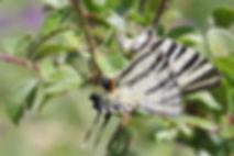 Atlas de la biodiversité Est Cantal | Rencontrons nos papillons | Flambé