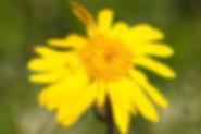 Arnica montana_PERERA_S_CBNMC_AAC3051d.J