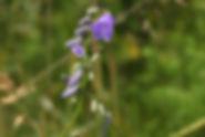 Campanula lanceolata_DESCHEEMACKER_A_CBN