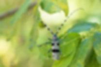 Atlas de la biodiversité Est Cantal |Rencontrons nos papillons |Rosalie des Alpes