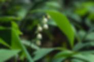 Convallaria majalis_PERRERA S_24165d.JPG
