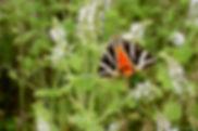 Ecaille chinée, Atlas de la biodiversité Est Cantal