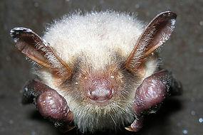 Chauve-souris,Atlas de la biodiversité Est Cantal